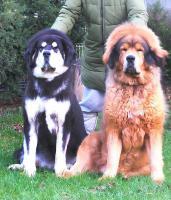 Foto 2 Tibetdogge – Welpen