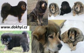 Tibetdogge, Tibetan Mastiff, DoKhyi