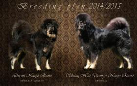 Foto 4 Tibetdogge, Tibetmastiff, Do Khyi Welpen Reservierung