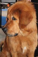 Foto 2 Tibetdogge - schöne Hündin in attrakiver Farbe