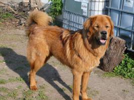 Foto 3 Tibetdogge - schöne Hündin in attrakiver Farbe