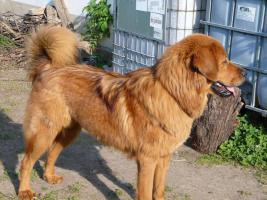 Foto 4 Tibetdogge - schöne Hündin in attrakiver Farbe