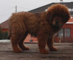 Tibetmastiff rote Welpen