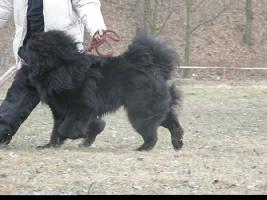 Tibetmastiff, Tibetdogge, Do-Khyi