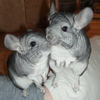 Tiere & Tierbedarf Kleintiere, Nager Chinchilla