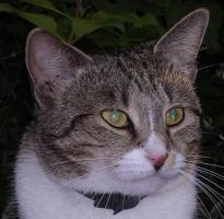 Foto 3 Tigerkatze Romy sucht Schmusepartner