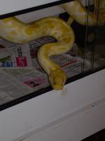 Tigerpython albino, python molorus bivitatus