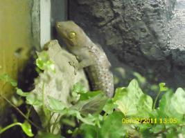 Tokeh Tohkeh Tookeh Gecko
