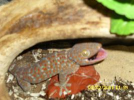 Foto 2 Tokeh Tohkeh Tookeh Gecko