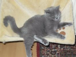 Foto 2 Tolle Britisch Kurzhaar Kätzchen in blau