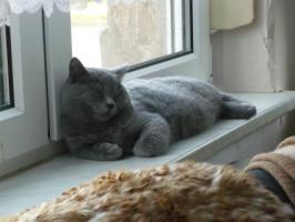Foto 3 Tolle Britisch Kurzhaar Kätzchen in blau