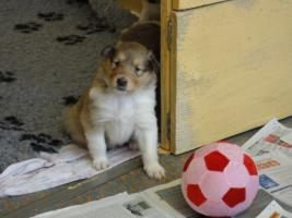Foto 2 Tolle Familiehunde Langhaar Collie Welpen