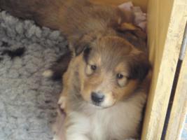 Foto 3 Tolle Familiehunde Langhaar Collie Welpen