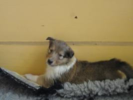 Foto 5 Tolle Familiehunde Langhaar Collie Welpen