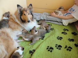 Tolle Familiehunde Langhaar Collie Welpen