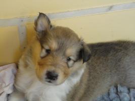 Foto 4 Tolle Familiehunde Langhaar Collie Welpen