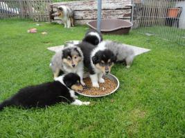Tolle Familienhunde Langhaar Collie Welpen