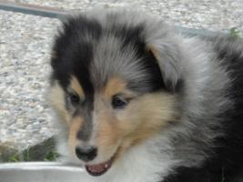 Foto 3 Tolle Familienhunde Langhaar Collie Welpen