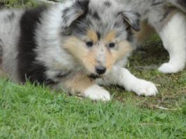 Foto 4 Tolle Familienhunde Langhaar Collie Welpen