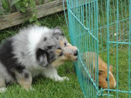 Foto 5 Tolle Familienhunde Langhaar Collie Welpen