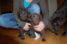 Tolle Labradorwelpen in chocolat und blond !