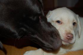 Foto 2 Tolle Labradorwelpen in chocolat und blond !