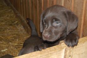 Foto 3 Tolle Labradorwelpen in chocolat und blond !