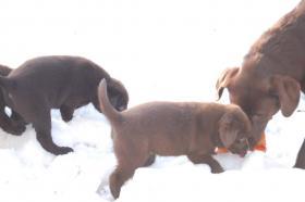 Foto 4 Tolle Labradorwelpen in chocolat und blond !