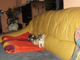 Foto 3 Toller Chihuahua Rüde Kurzhaar