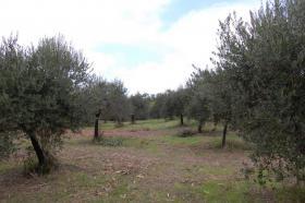 Foto 4 Toller Olivenhain Ital. Adria Abruzzen bei Pescara 20km z.Meer
