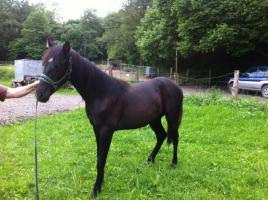 Tolles Tennessee Walking Horse-Jährling zu verkaufen