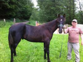 Foto 2 Tolles Tennessee Walking Horse-Jährling zu verkaufen
