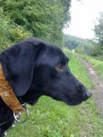 Foto 2 Tommy - Labradormischling aus dem Tierschutz