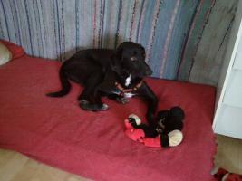 Foto 5 Tommy - Labradormischling aus dem Tierschutz