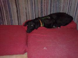 Foto 8 Tommy - Labradormischling aus dem Tierschutz