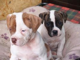 Foto 2 ***Top American Bulldog Welpen***