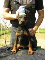 Foto 2 Top Dobermann Welpen zu verkaufen