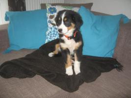 Foto 3 Top Familienhund, Australian Shepherd Berner Sennen Hundewelpen