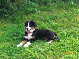 Foto 4 Top Familienhund, Australian Shepherd Berner Sennen Hundewelpen