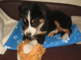 Foto 5 Top Familienhund, Australian Shepherd Berner Sennen Hundewelpen
