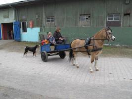 Foto 3 Top Pony Gig mit Geschirr , komplett