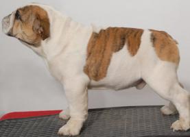 Foto 2 Top-Qualität Englisch Bulldogge Welpe zum Verkauf