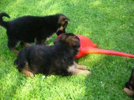 Foto 2 Top-Sch�ferhundwelpe H�ndin m.P aus Sp.-Verpaarung zu Verkaufen!