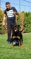 Foto 2 Top hündin rottweiler zum verkauf!