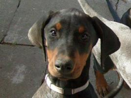 Top.Dobermann Welpen