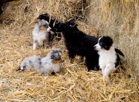 Foto 5 *****Toy und Mini Australian Shepherd Welpen*****