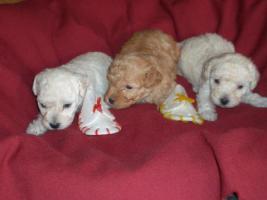 Foto 3 Toy Pudel Welpen zu verkaufen