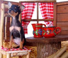 Foto 4 Toy Terrier kleine Welpen abzugeben. (Russkiy Toy MINI)