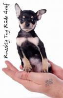 Foto 5 Toy Terrier kleine Welpen abzugeben. (Russkiy Toy MINI)