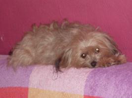 Toypudel-Chihuahua-Kreuzungshündin